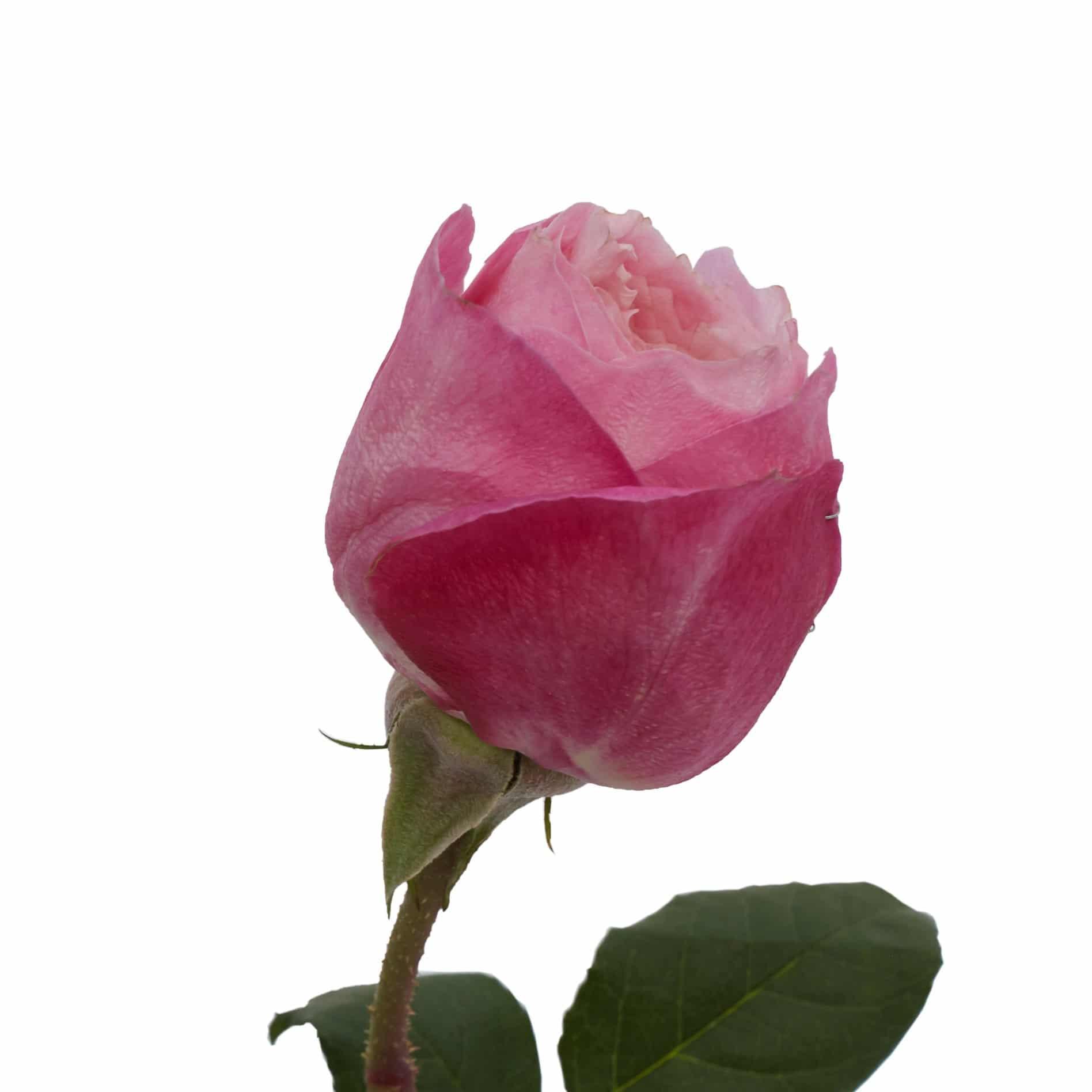David Austin Roses0473