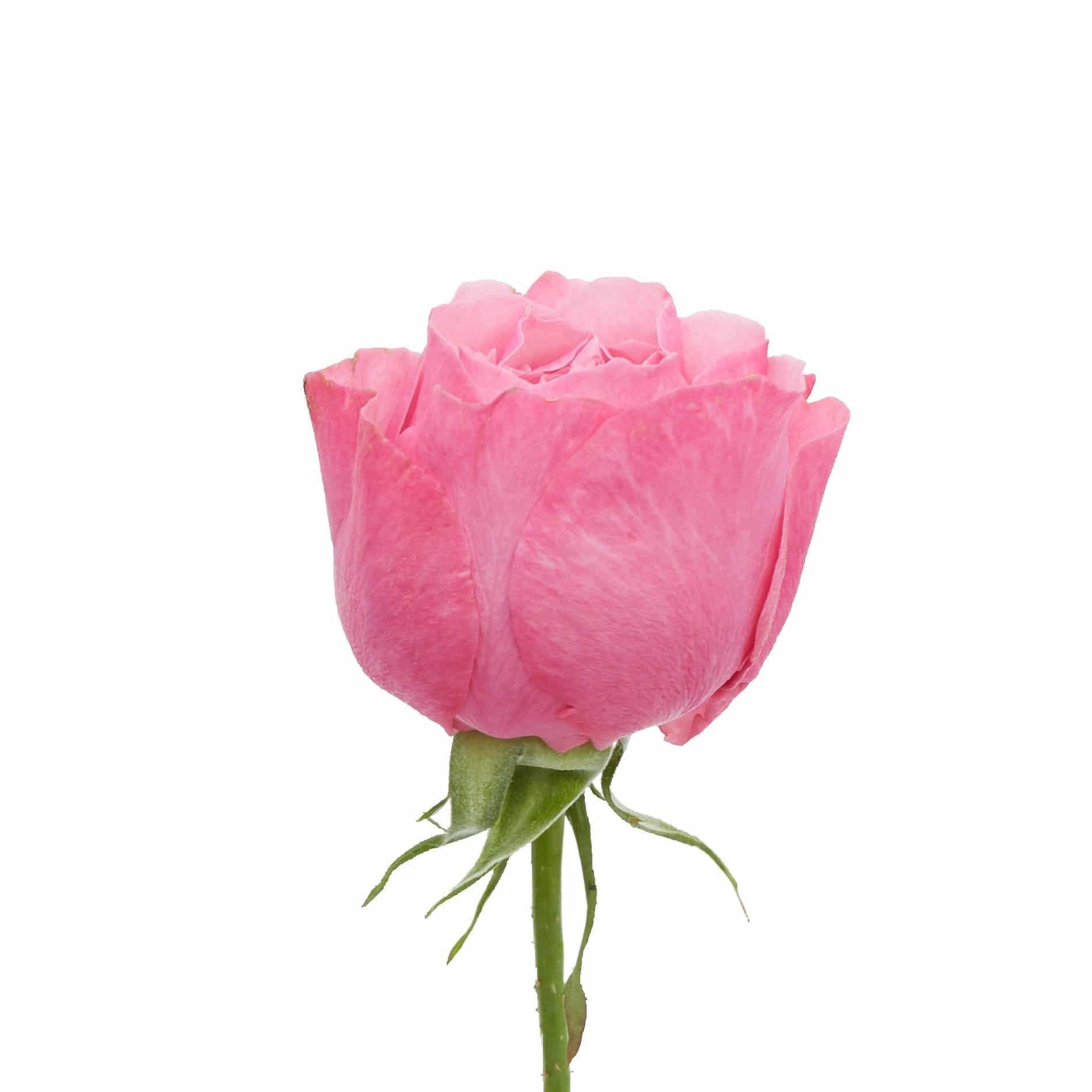 David Austin Roses0477