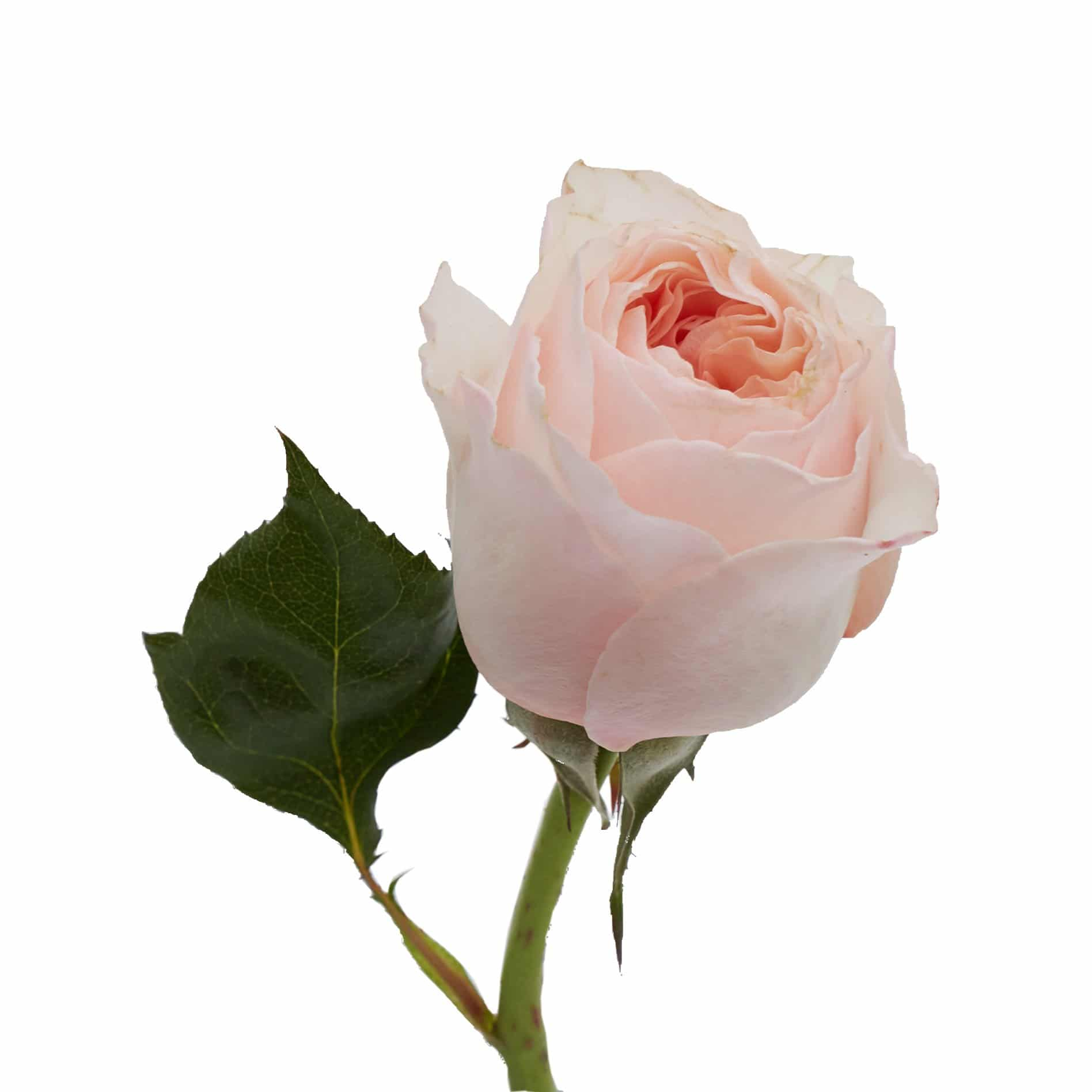 David Austin Roses0480