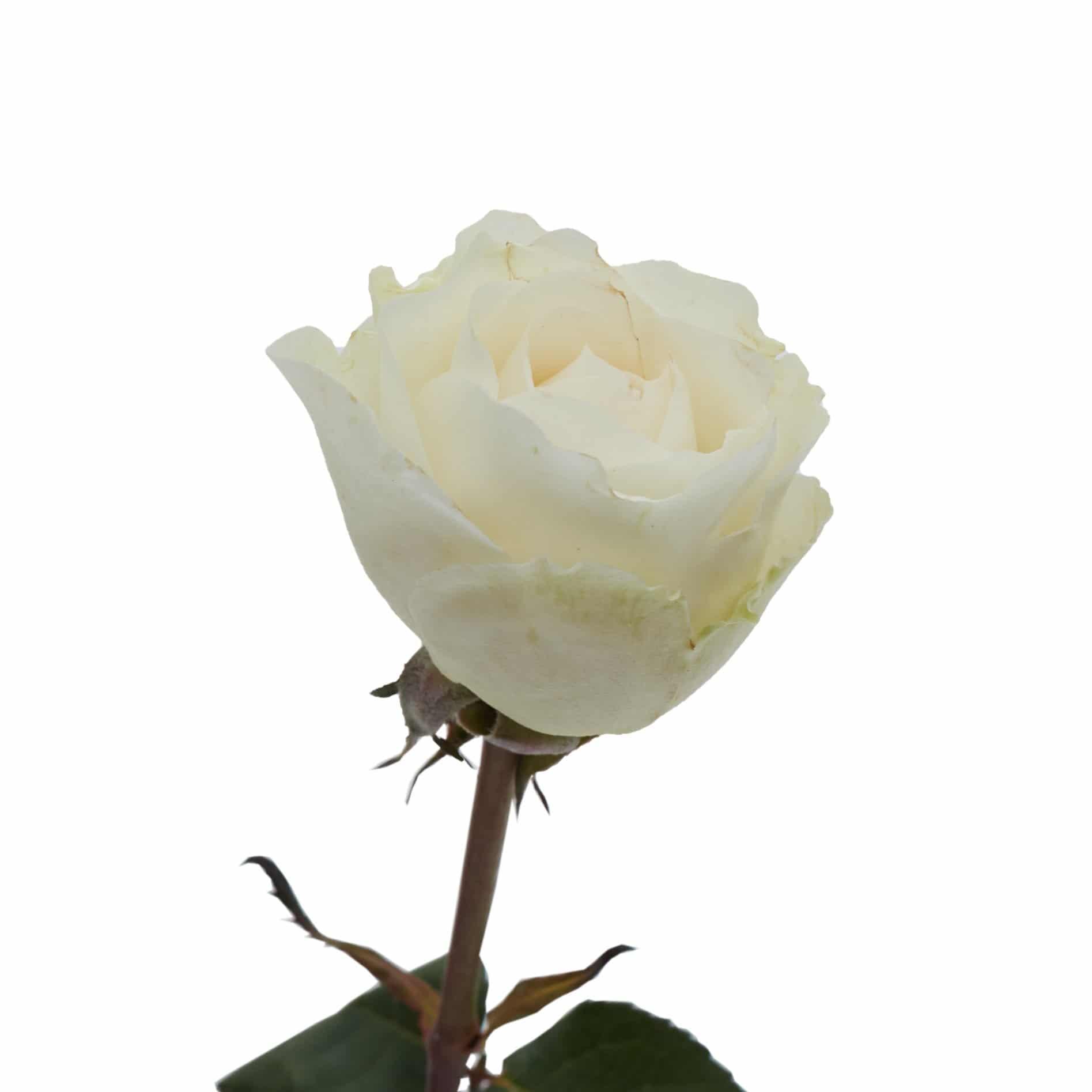 David Austin Roses0482
