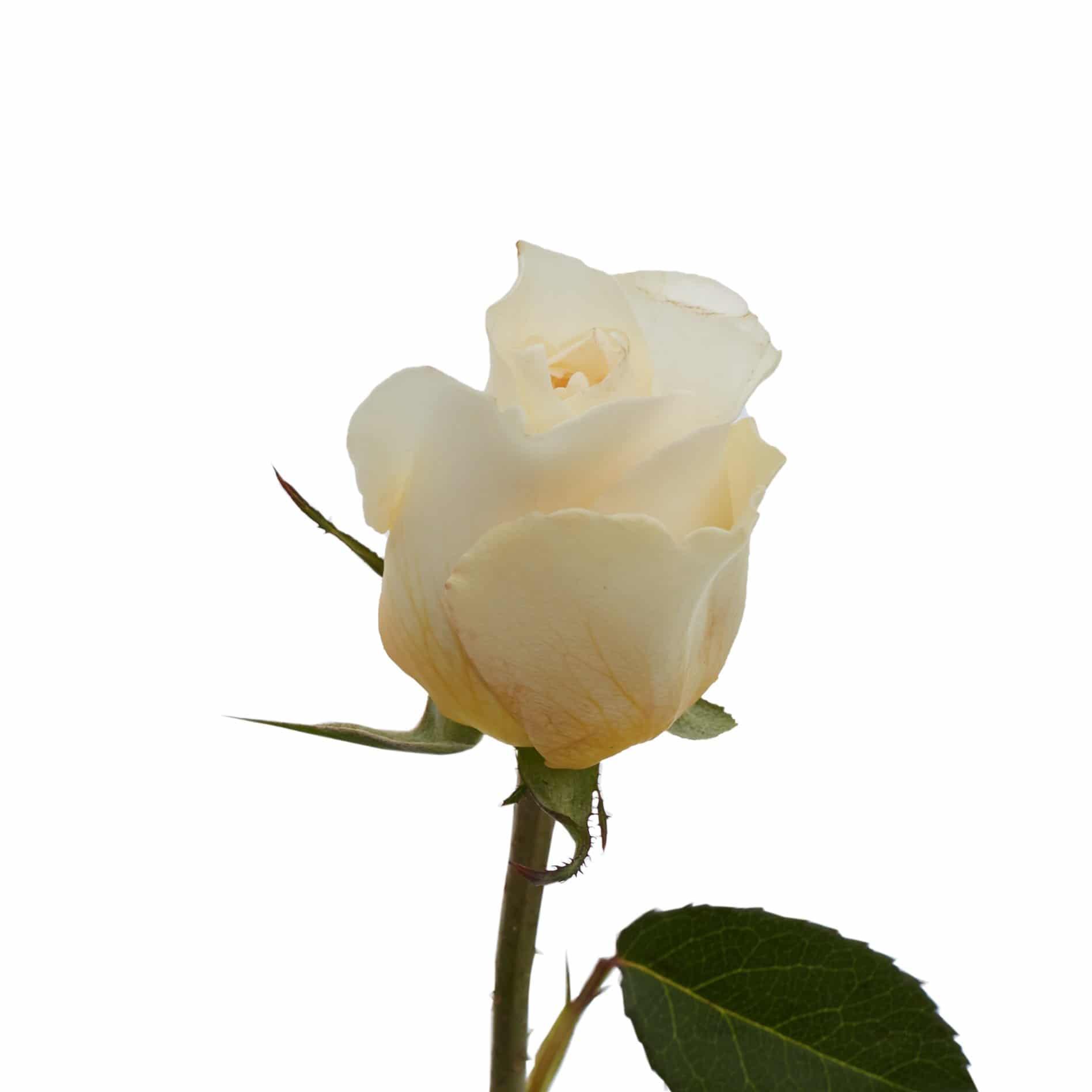 David Austin Roses0486