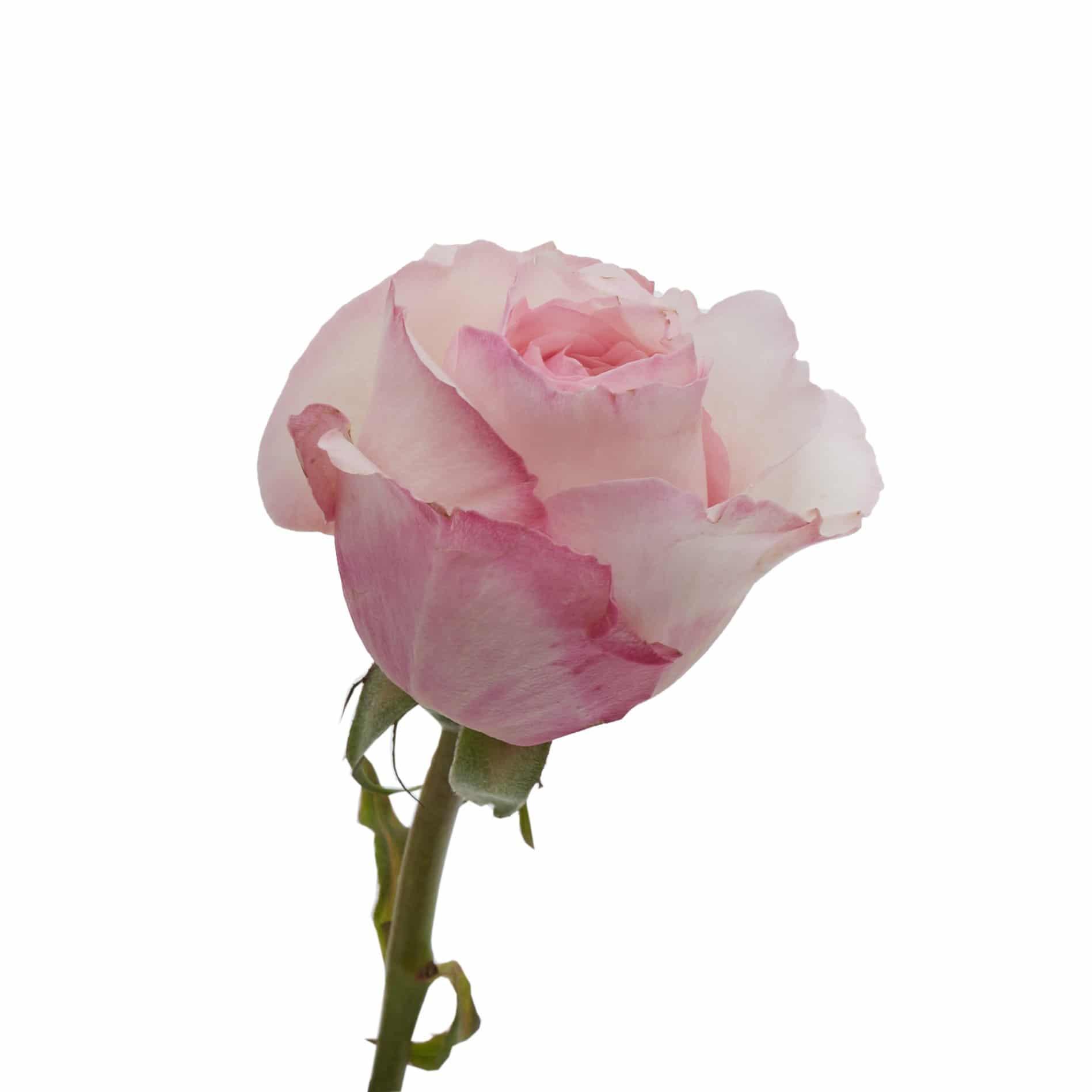 David Austin Roses0488