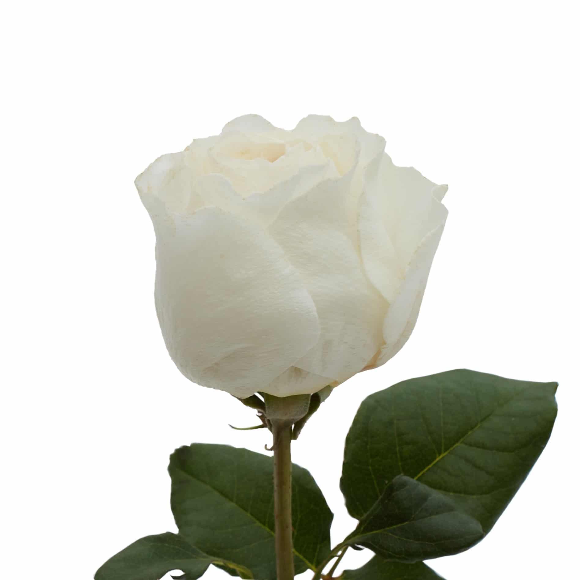 David Austin Roses0492