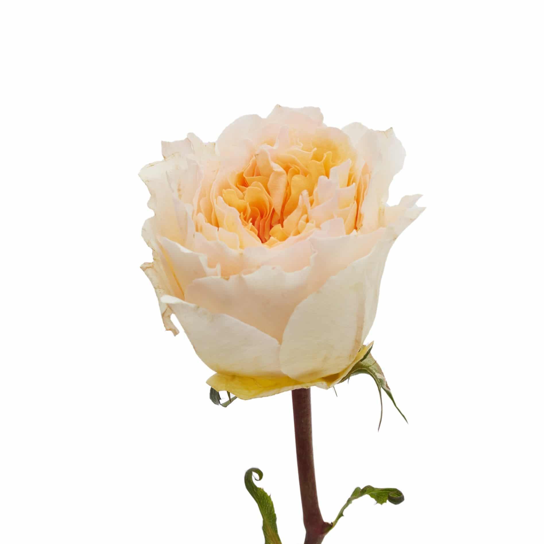 David Austin Roses0502