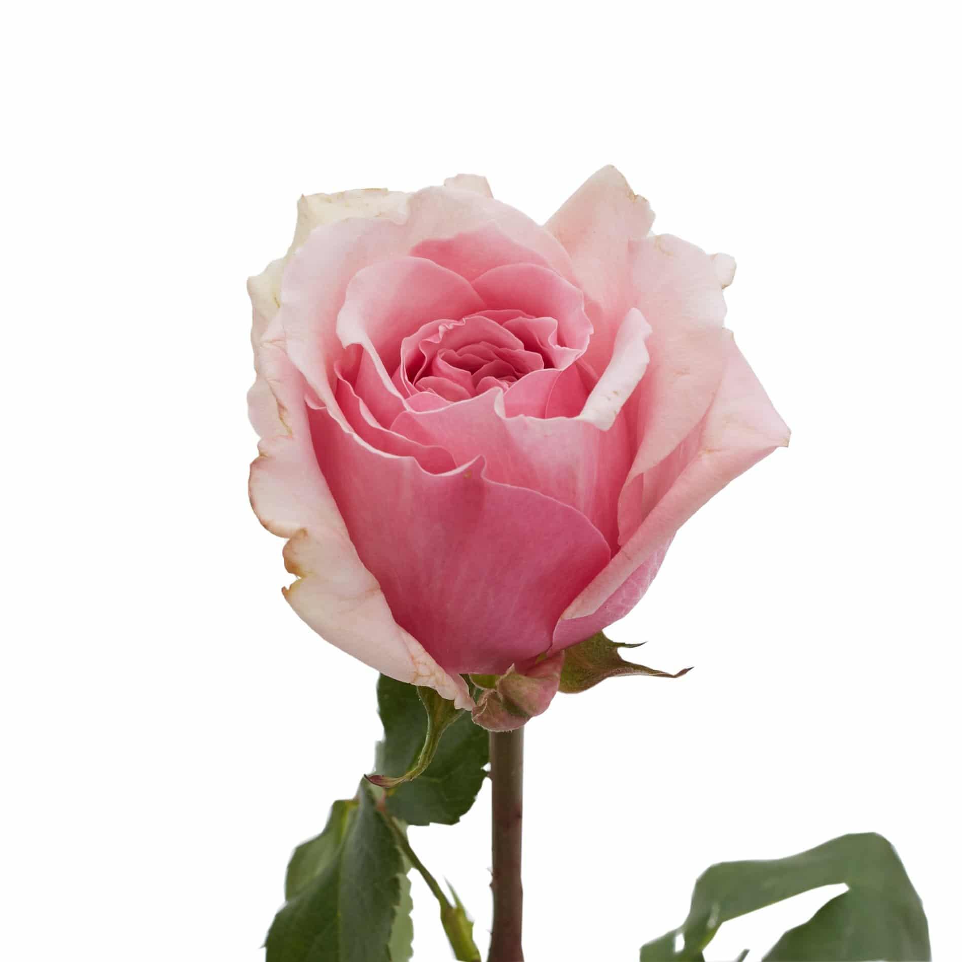 David Austin Roses0504