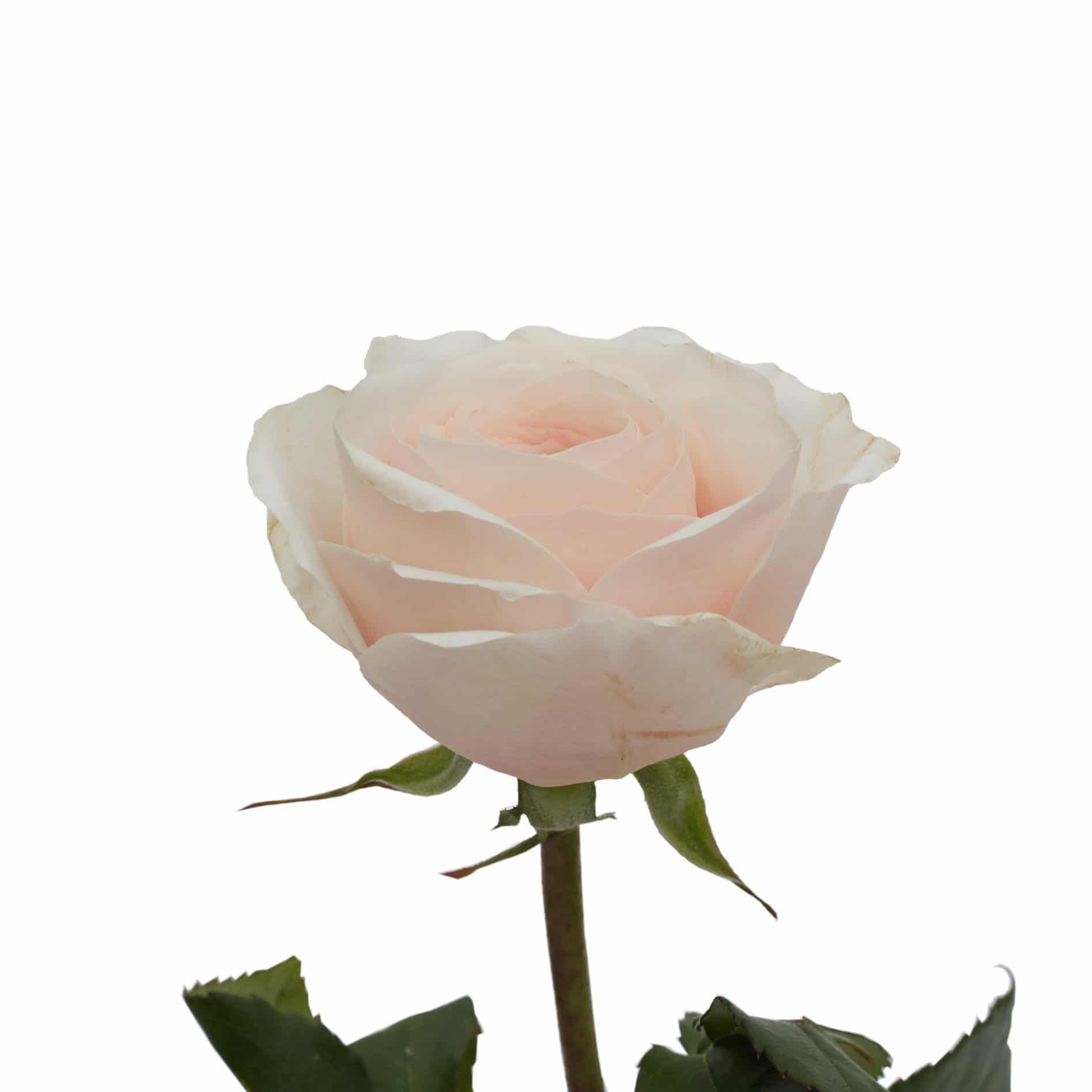 David Austin Roses0519