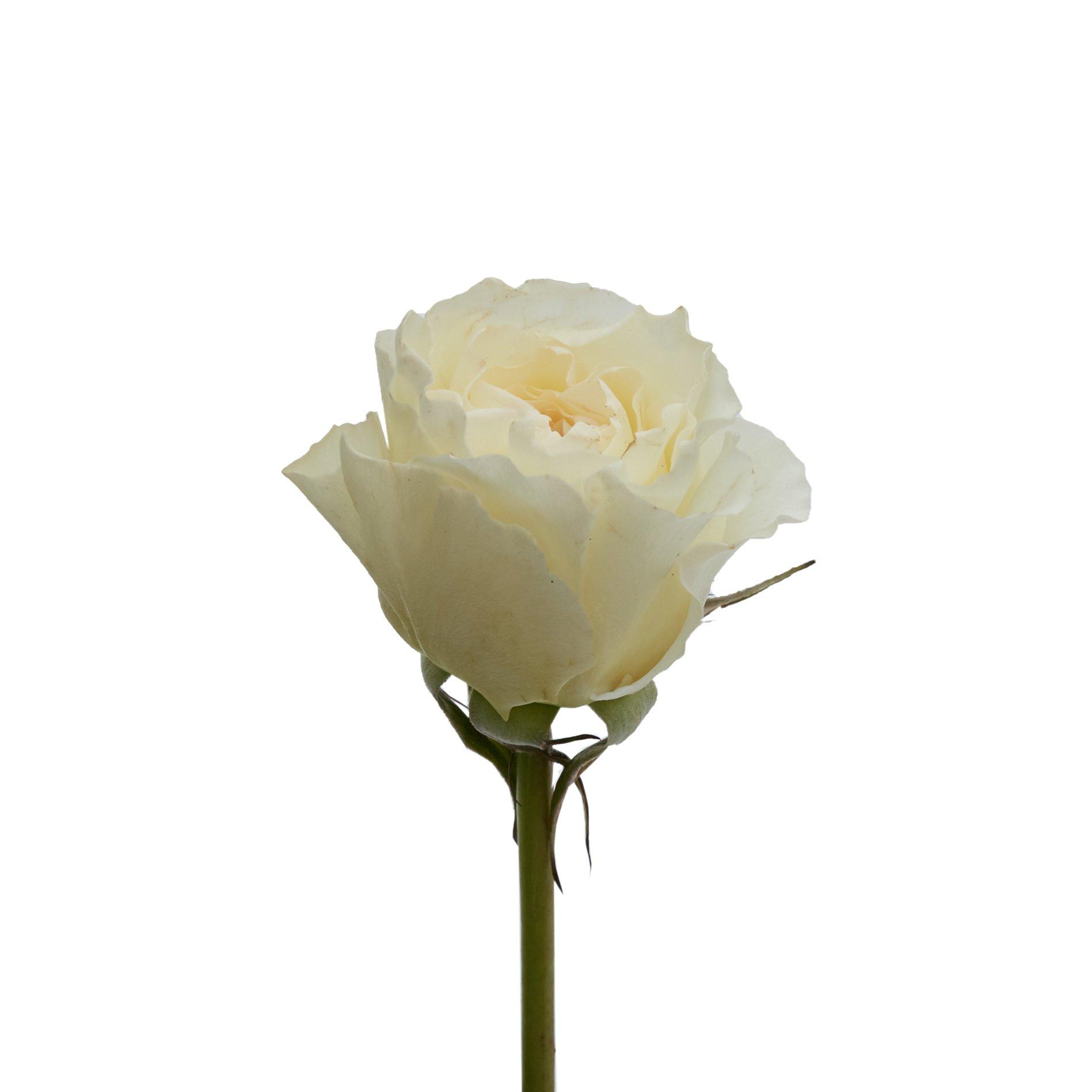 David Austin Roses0521